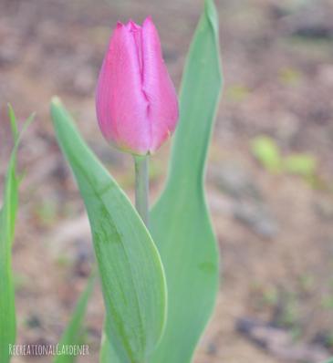 3 tulip