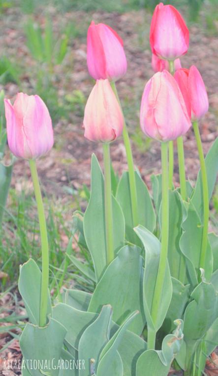 4 tulip