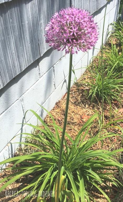 Allium 4