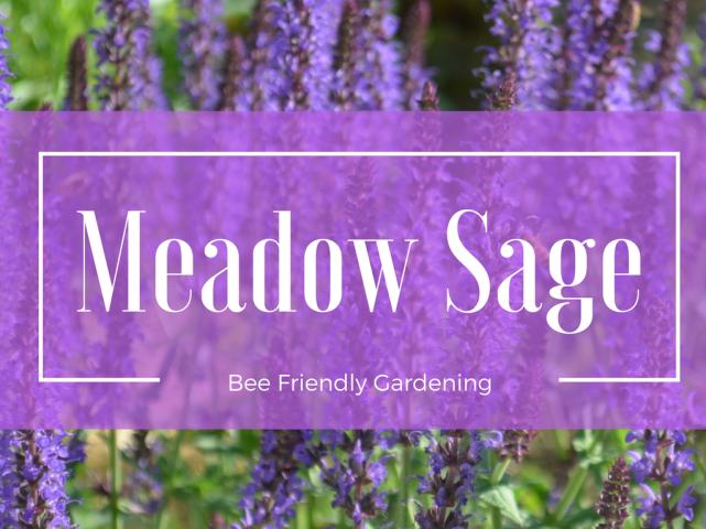 Meadow Sage (1)