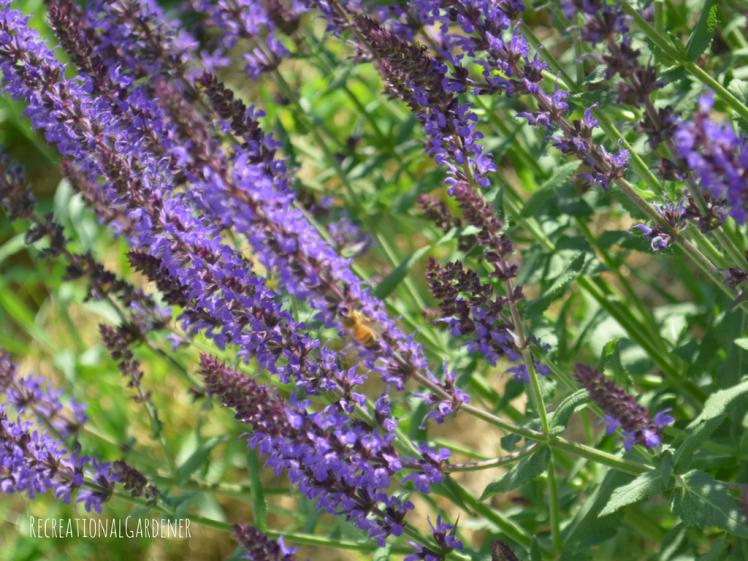 Meadow Sage (3)