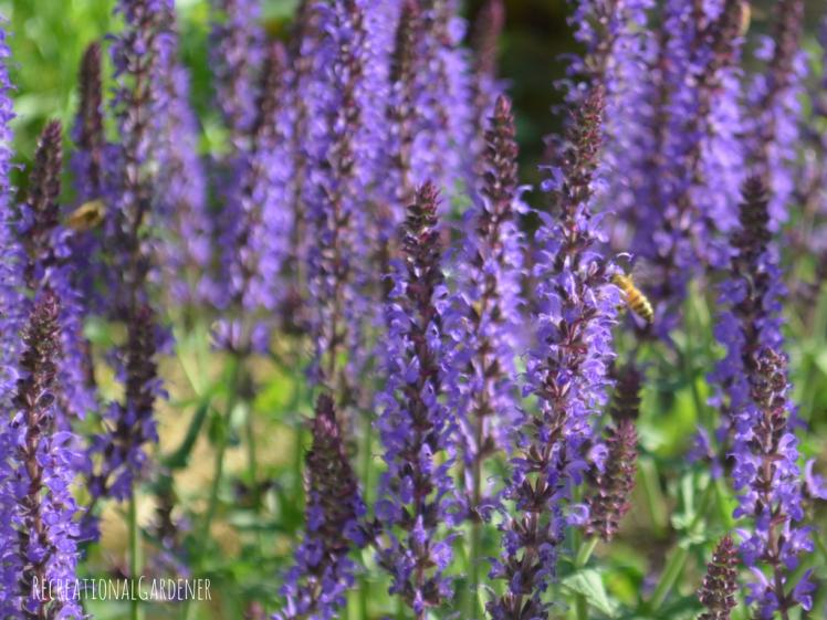 Meadow Sage (4)