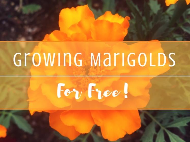 GrowingMarigolds 2 (1)